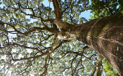 Brazylia: Drzewo jatoba jako uchodźca na terenie ambasady Norwegii