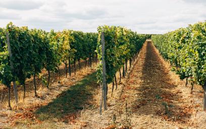 Zmowa winiarzy: słynni producenci z Bordeaux przed sądem. Grozi im więzienie