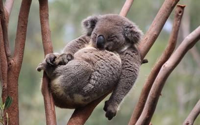 Dramatyczny spadek populacji koali. Symbol Australii wymiera