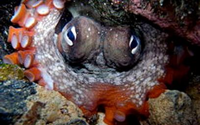 Samice ośmiornic rzucają w natrętne samce muszlami
