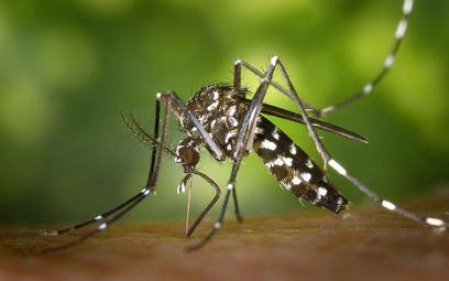 Samica komara tygrysiego. Fot. James Gathany, CDC