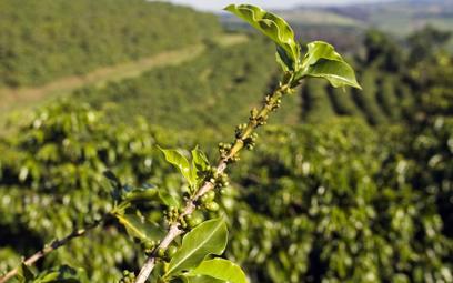 Śnieg i mróz w Brazylii, 30 proc. drzew kawy zniszczone