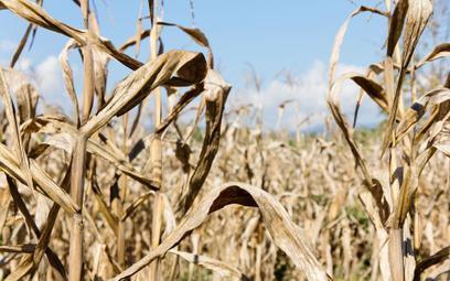 Egipt jest od lat największym na świecie importerem pszenicy