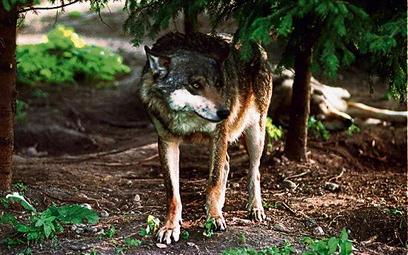 Niepokonany wilk