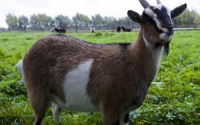 Służewskie kozy trafią do ks. Maja