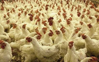 """Wielka Brytania: Tysiące kurczaków zginęło na farmie. """"Nie mogliśmy nic zrobić"""""""