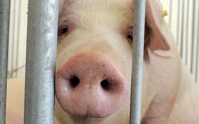 Władze USA wprowadziły niespodziewanie blokadę eksportu polskiej wieprzowiny, gdy część transportowa
