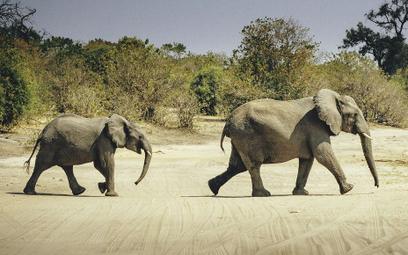 Botswana uchyliła zakaz polowań na słonie