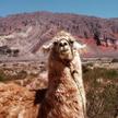 Nigdy nie zadzieraj z lamą (bliską krewną wielbłąda)