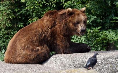 Niedźwiedzica z młodymi w Dolinie Strążyskiej