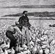 WXIX wieku ptasie guano zPeru było cennym towarem używanym do nawozów rolniczych