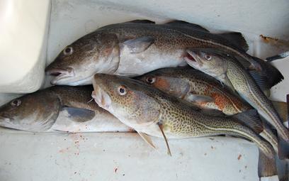 Zakaz połowów dorsza w Bałtyku. Rusza program ochrony