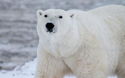 Wśród niedźwiedzi polarnych wzrasta kanibalizm