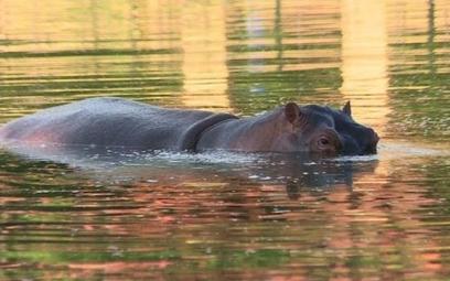 Hipopotamy Pablo Escobara terroryzują okolicę