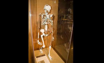Rekonstrukcja szkieletu Lucy z muzeum w Cleveland