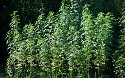 Francja rozpoczęła pierwsze badania nad medyczną marihuaną