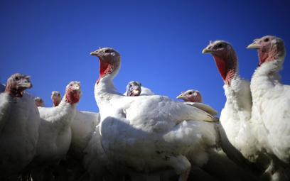 Brytyjscy rolnicy ostrzegają, że zabraknie indyków na święta