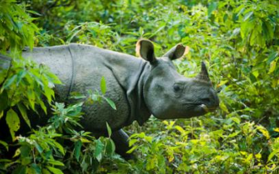 nosorożec indyjski