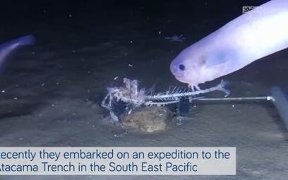 Na dnie oceanu znaleziono nowe gatunki ryb