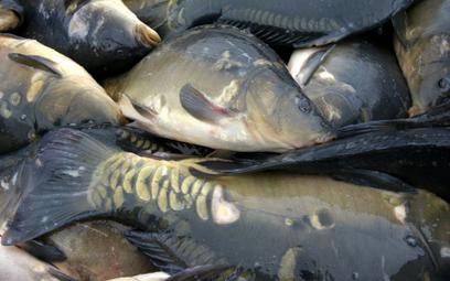 Sieci handlowe coraz częściej rezygnują ze sprzedaży żywych ryb