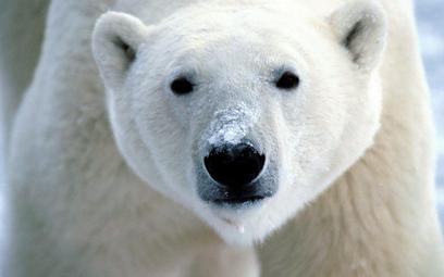 W Chinach działa hotel z niedźwiedziami polarnymi