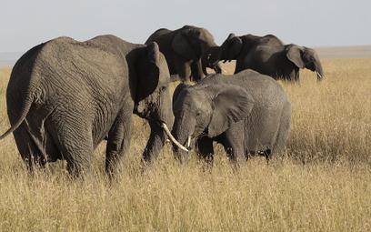 Zimbabwe: Słonie stratowały turystkę z Niemiec