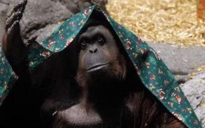 Sandra, orangutan z ogrodu zoologicznego w Buenos Aires