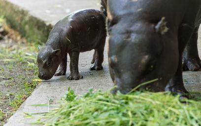 Hipopotam karłowaty urodził się w zoo we Wrocławiu