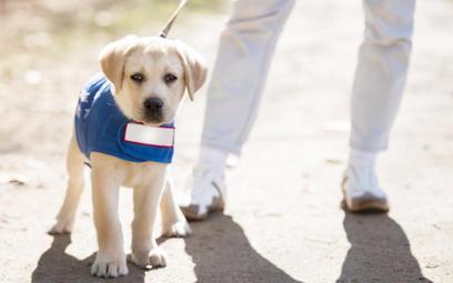 Zostań wolontariuszem, zaopiekuj się przyszłym psem-przewodnikiem