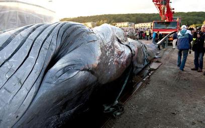 Ciało 15-metrowego wieloryba, który - mimo akcji ratunkowej - nie przeżył, gdy zabłądził do zatoki V