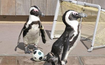 Piłkarska rozgrywka pingwinów z tokijskiego zoo morskiego