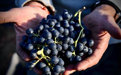 Skórki winogron zawierają antyoksydanty, które pomagają zapobiegać chorobom serca.