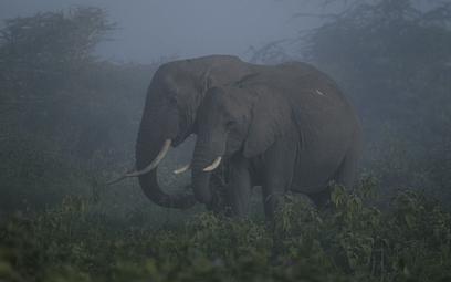 Słonie afrykańskie coraz bardziej zagrożone wyginięciem