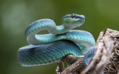 Szwajcaria: Nie mogą znaleźć ludzi, którzy boją się węży