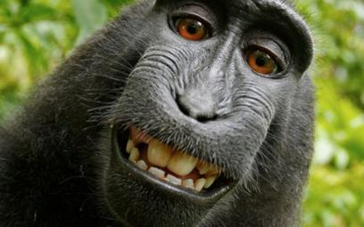 Wygrał prawa do selfie małpy