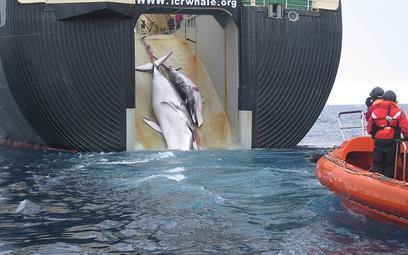 Ciężarne wieloryby karłowate giną z rąk japońskich rybaków