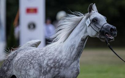 Słynne stadniny koni arabskich na finansowym dnie