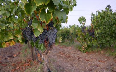 W Szampanii widać zmiany klimatu. Więcej win bez bąbelków