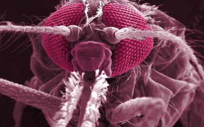 To właśnie z aparatu gębowego komarów Anopheles uzyskiwane są pierwotniaki wykorzystywane do produkc