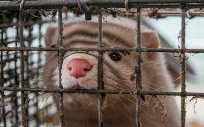 Czy zakaz hodowli norek może wrócić?