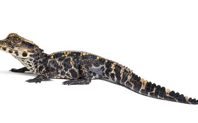 Krokodyl krótkopyski. Przedstawicielem tego gatunku jest szczęśliwie odnaleziony Mireczek