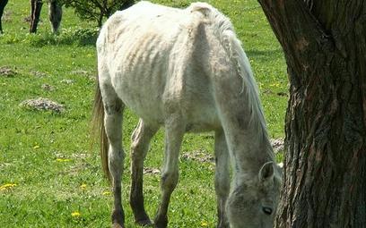 Jeden z niedożywionych koni