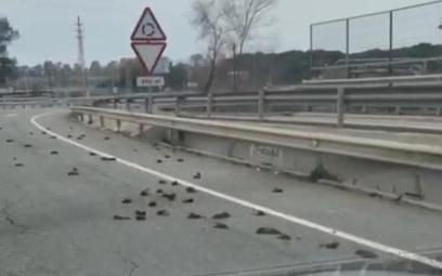 Hiszpania: Tajemnicza śmierć setek ptaków na drodze