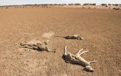 Australia. Padłe z powodu suszy kangury w Nowej Południowej Walii.