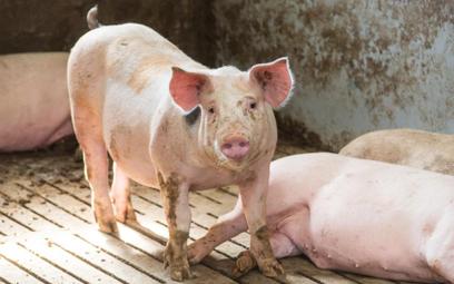 Świnie chorują, ceny będą rosły